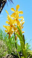Orchidaceae - Yellow by ApertumCodex