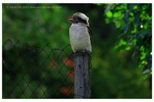 Laugh, kookaburra laugh by sharvani