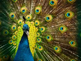 The Amazing Spid--- Peacock by JuncalDelacroix