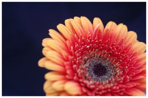 Gerbera II by facella