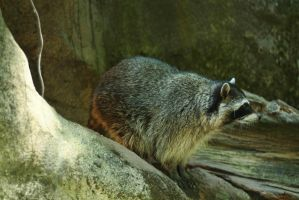 raccoon 3 by fotophi