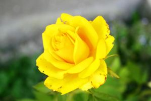 yellow-rose6 by Fotoback