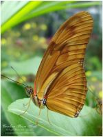 Dryas Julia 1 by pixellorac