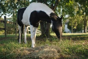 Black Tobiano 14 by horsiexstock