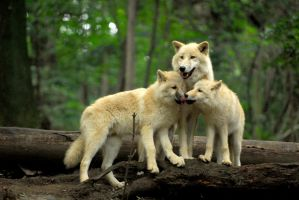 Arctic Wolf Family by Shadow-and-Flame-86