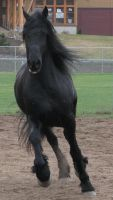 Arabo Friesian Stock 1 by Syeiraxx