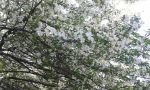 Spring Tree by InvisibleSomething