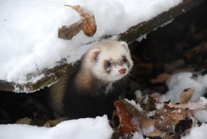 Snowy Ferret by Tinnef
