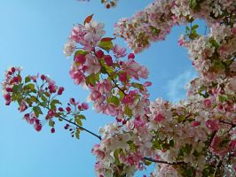 Spring Blossoms by schon