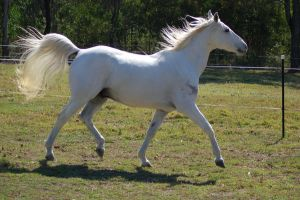 Horse stock - Flowing tail by Chunga-Stock