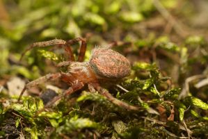 spider id neoscona arabesca by Me-mice-elf-and-eye
