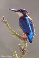 Backlit Kingfisher by Jamie-MacArthur