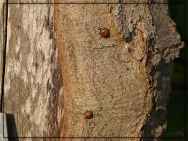 Two Ladybugs by schnegge1984