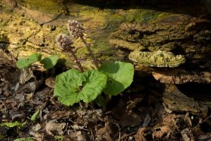 Common Butterbur by steppelandstock