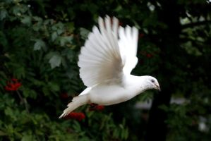 White Pigeon - Flying by gaothaire