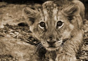 The lion cub by rosannjoh