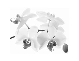 high-key orchid by right-angle
