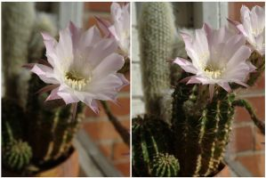 Spiny flower by Northern-beauty