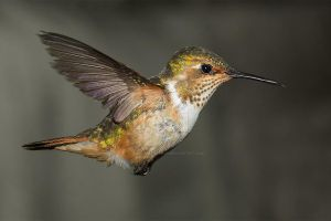 Scintillant Hummingbird - female by Jamie-MacArthur