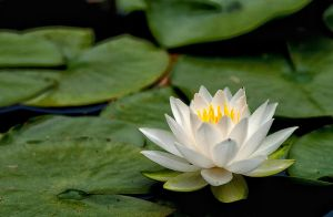 white water lily by Aspyrin