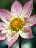 White and Pink Flower by mohaganbev