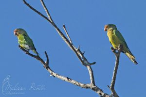 Orange-fronted Parakeets by mydigitalmind