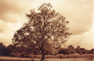 sepia tree by lamorth-the-seeker