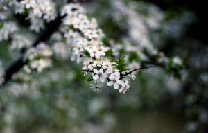 White Blooms III by Baltagalvis