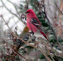Couple of Pine Grosbeaks 03 by JocelyneR