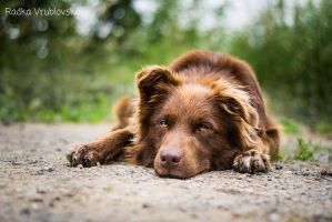Rafael, the chocolate dog :) by aussiefoto