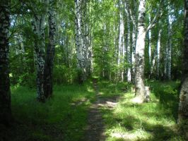 Birch path by DanaAnderson