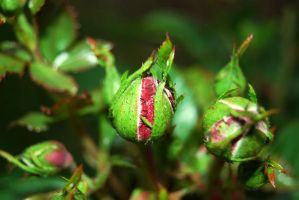 Rose bud by igelkotten