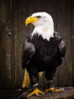 An Eagle by Alena-G-Photography