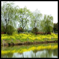 Willow trees and the river by Lai-Wei