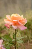 lovely rose1 by 7usaM