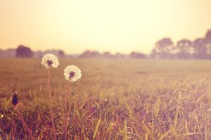 Dandelion by Lodchen-Photography