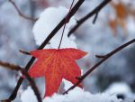Maple Leaf by anjollie131415