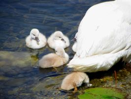 Swan babies and their mother by Exornali