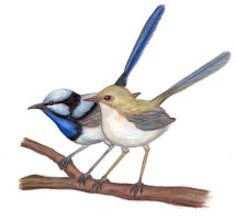 Superb Fairy Wrens by poeticfrenzy