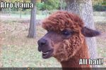 Llamas With Afros SEARCH