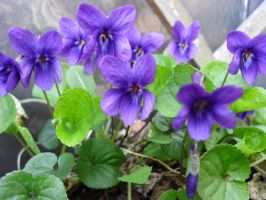 March Violets! by Kitsch1984