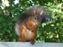 Squirrel 115 by Cundrie-la-Surziere