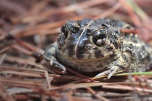 Portrait of a toad by AlejandroCastillo
