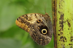 Owl Butterfly by AlHabshi