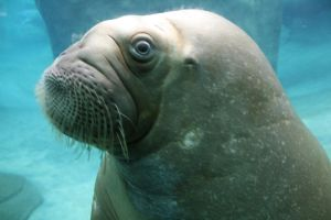 The Inquisitive Walrus by TalkingBull