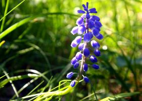 Grape hyacinth by KatanaZX