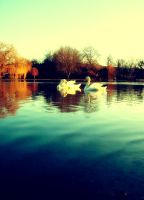 Swan Love by akrPhotography