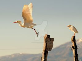 Cattle Egret in Flight by houstonryan