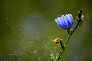 Web, Dew, and Chicory by TimLaSure