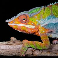Beautiful colourful chameleon by AngiWallace